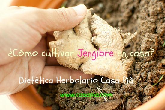 como-cultivar-jengibre-en-casa-o-en-tu-jardin-04 (1)