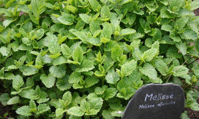 melisa-planta-medicinal-668x400x80xX