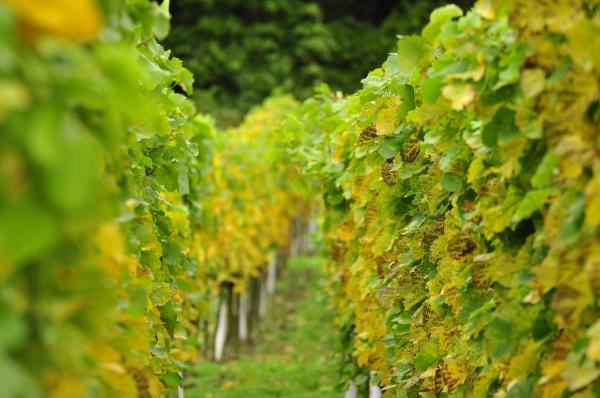 Optimized-vineyards-697091_1280