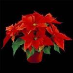 flor de pascua,1