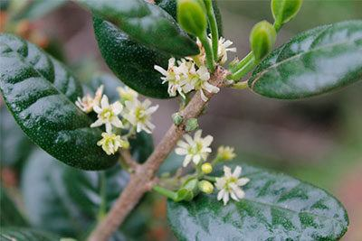 peumus-boldus-casa-pia-herbolario-plantas-medicinales-tes-infusiones