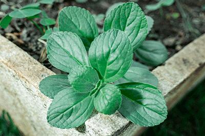 peumus-boldus-casa-pia-herbolario