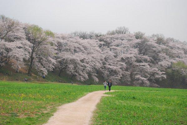 Precioso-paseo-lleno-de-cerezos-en-flor-en-Gyeongju