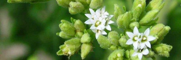 planta-de-stevia