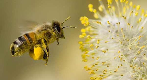 salud-polen-de-abeja