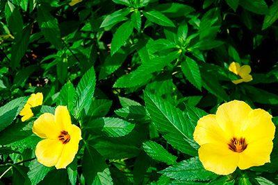combatir-cansancio-remedios-naturales-planta-damiana