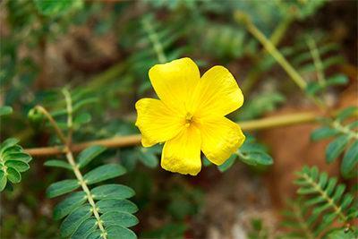 combatir-cansancio-remedios-naturales-planta-tribulus