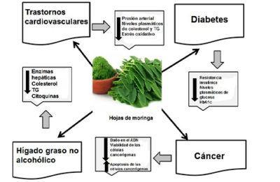 efecto-protector-hoja-de-moringa-cancer-diabetes-trastornos-cardiovasculares
